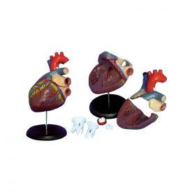 Modello di cuore umano in 6 parti ingrandito di circa 2,5 volte