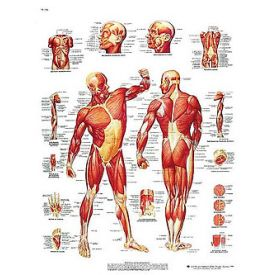 La muscolatura  umana -  tavola didattica 50x67 cm
