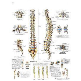 La colonna vertebrale - tavola didattica 50x67 cm