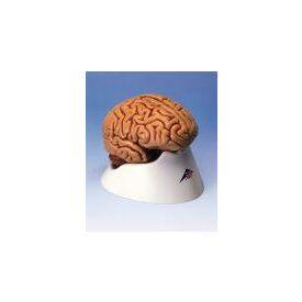 Cervello in 5 parti