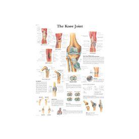 L'articolozione del ginocchio - tavola didattica 50x67 cm