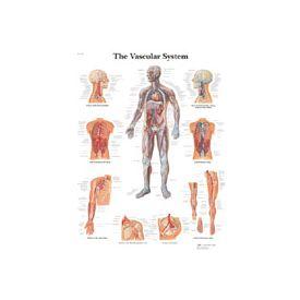 Il sistema vascolare - tavola didattica 50x67 cm