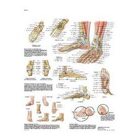 Piede e caviglia - tavola didattica 50x67 cm
