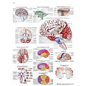 Il cervello umano - tavola didattica 50x67 cm