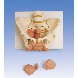 Scheletro di bacino femminile con organi genitali, in 3 parti