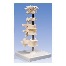 5 vertebre