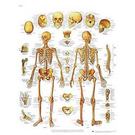 Lo scheletro umano - tavola didattica laminata 50x67 cm