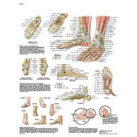 Piede e articolazione del piede - Tavola didattica laminata 50x67 cm