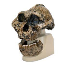 Cranio antropologico - KNM-ER 406, Omo L. 7a-125
