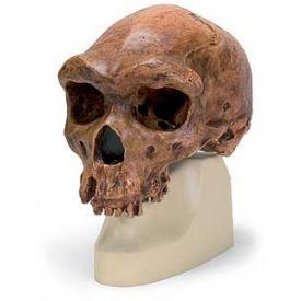 Cranio antropologico - Broken Hill o Kabwe