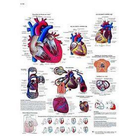 Il cuore umano - tavola didattica laminata 50x67 cm