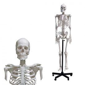 Scheletro umano 168 cm